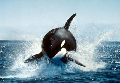 海の生物で1番強いのが「シャチ」ということが納得出来ない・・・・・・