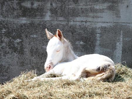 ディープスカイ産駒の白毛馬誕生