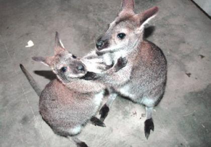 """ネットでオーストラリアから""""粉ミルク6缶""""を取り寄せたら、""""粉ミルク2缶""""と""""生きたカンガルー""""が送られてきたでござる"""