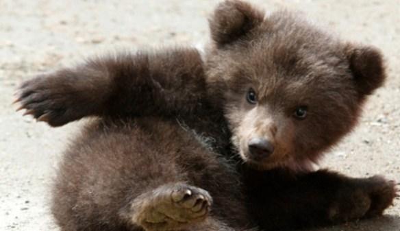 【悲報】カザフの動物園、来園者の目前で小熊をジャガーの餌に・・・児童は大泣き