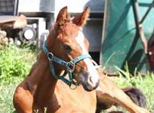 【競馬】 トウカイテイオーの最後の産駒が誕生 母は濁流から生還したキセキノサイクロン