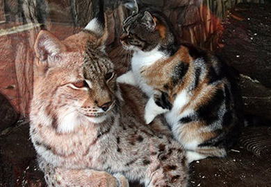 ロシアの動物園で、ヤマネコに恋して通う野良ネコが話題に (画像)