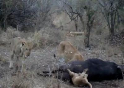 バッファローを仕留めたライオン一家、急いで食べようとした子ライオンがバッファローのお尻に頭を突っ込む → 抜けなくなる (動画)