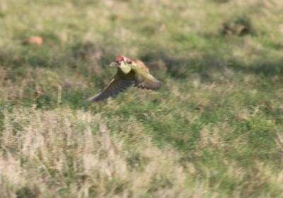 キツツキがイタチを背中に乗せたまま飛んでいる場面が激写される (画像)