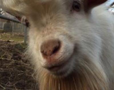 山口の「秋吉台サファリランド」にて、ダンディーなヤギが見つかる(画像) … 名前は「かまぼこ」 2014年4月に生まれた3兄弟の1頭だ。