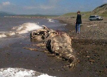 """ロシア・サハリンの砂浜に、謎の""""毛むくじゃら巨大生物""""の死骸が打ち上げられる(画像) … 氷の中に閉じ込められていたマンモスで、温暖化で溶け出たものが流れ着いたという説も"""