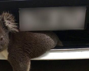 時速100kmで走行中の自動車に1匹のコアラがはねられる … で、実際どうなったのかというと→ (画像)