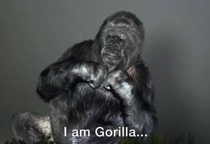 手話ができるゴリラの『ココ』「地球を救って下さい!時間はもうありません。 急いで! 」人間に対しSOSを発信(動画) … COP21にビデオメッセージを送りつける