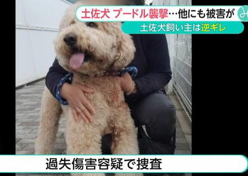 横須賀市で散歩中のプードル、土佐犬に襲われる … 土佐犬の飼い主の50代男性は謝罪無く逆ギレ「リードは繋いでいたが、犬の力が強くて離してしまった」