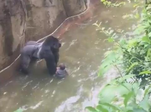 米動物園、囲い侵入の男児救助のためゴリラを射殺