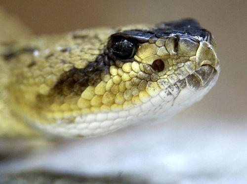 BT_Rattlesnake