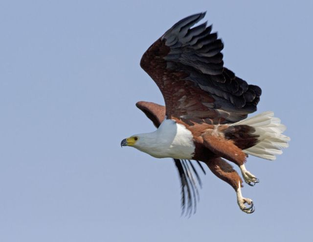 African fish eagle BINNS IMG_1299