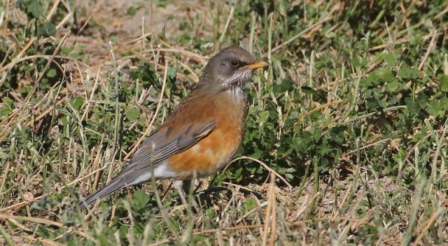 Rufous-backed Robin 2br (Lincoln County, NV) 11-14-12
