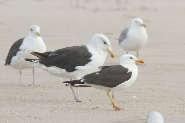 12-6-17-02 [gulls]