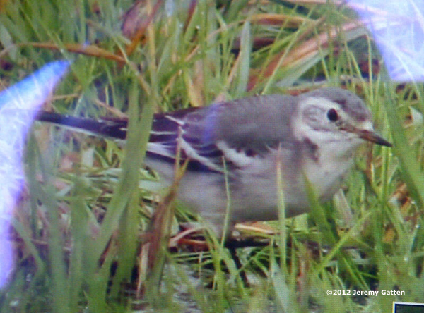ABArare Citrine Wagtail
