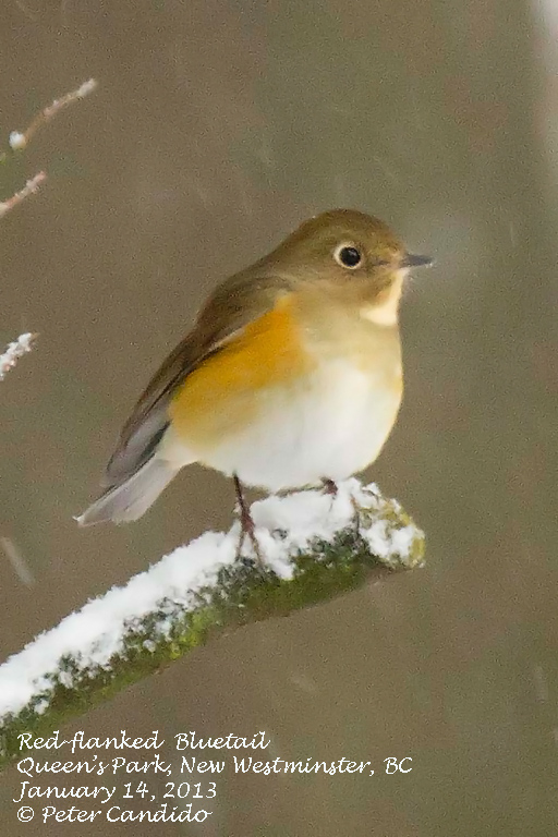 Red-flanked Bluetail_front view Peter