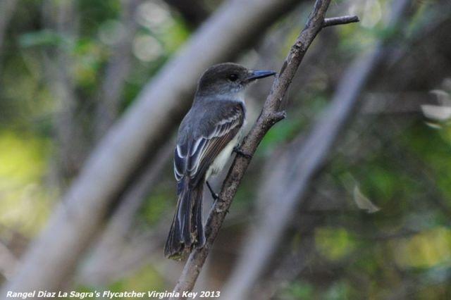 ABArare La Sagra's Flycatcher Rangel