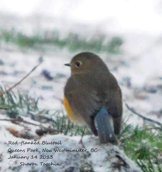 ABArare Bluetail RFBL-2-SharonToochin-14Jan2013