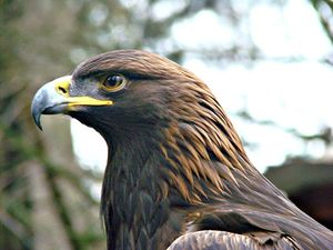 Golden Eagle - Ann Nightingale