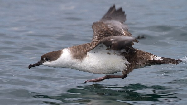 Great Shearwater, off Westport, WA, Ryan Shaw