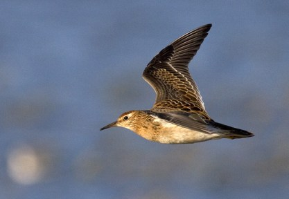 Sharp-tailed Sandpiper. Photo by Greg Neise.