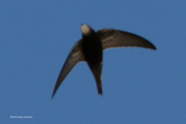 Common Swift. Photo by Oscar Johnson.