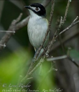 Black-capped Vireo, one of the Texas specialties that can be found at Warbler Woods.