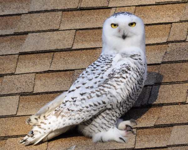 The 2013 Snowy Owl Invasion It s getting crazier by the minute ABA Blog