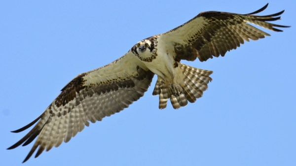 Osprey_in_flight_over_Lake_Wylie