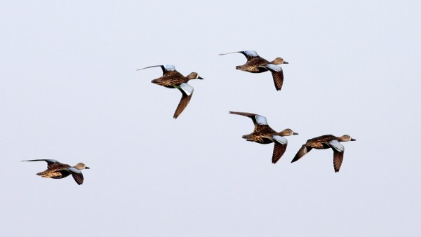 Prairie nesting waterfowl like these Blue-winged Teal stand to benefit from increased protection of private wetlands