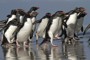 Rockhopper Penguins charge along a beach on the Falkland Islands.
