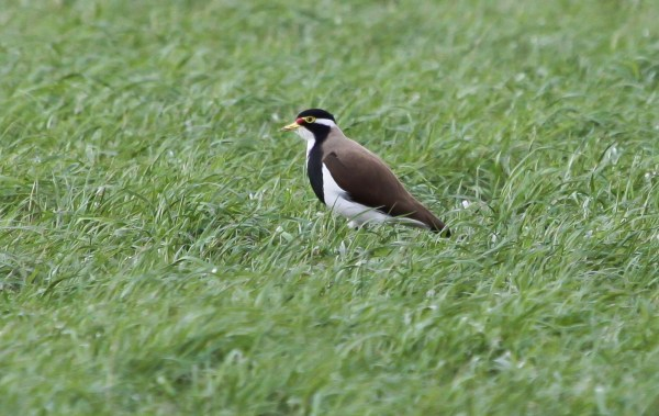 Banded Lapwing, photo by Elis Simpson