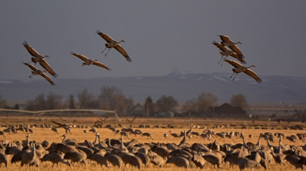 Sandhill Cranes on final approach, heading into the wind and into the sunset, Monte Vista NWR, Colorado, March 2014.  Photo ©Bill Schmoker
