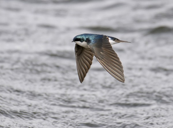 Tree Swallow flying into a gale, Jackson County, Colorado, April 2009.  Photo ©Bill Schmoker
