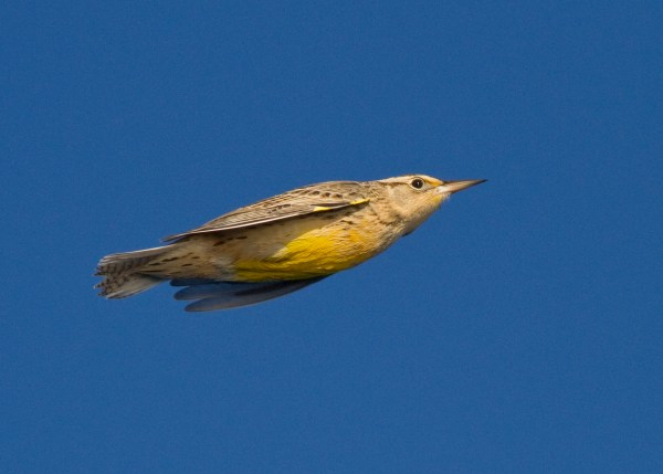 A non-strung Western Meadowlark a couple miles offshore of San Diego. (Photo © G. Armistead)