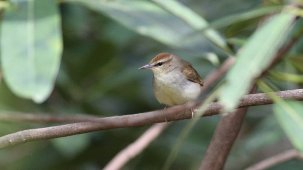 It may be more subtle, but it's hardly less desirable. Swainson's Warbler, Transylvania Co, NC, photo by Nate Swick
