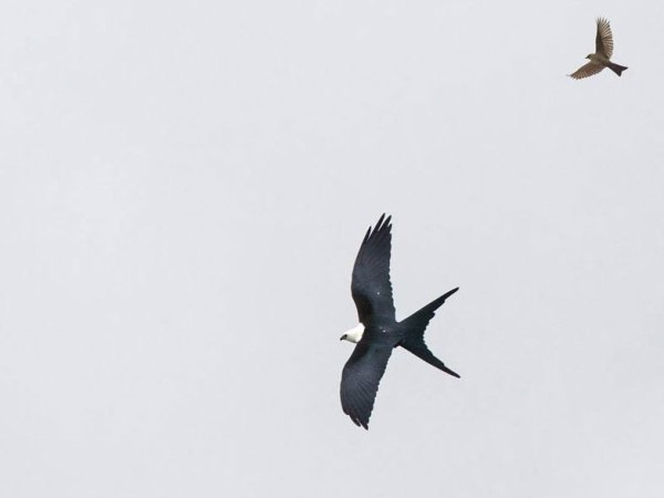 Swallow-tailed Kite by Niall Perrins, a South African birder who had long wanted to see this Neotropical beauty.