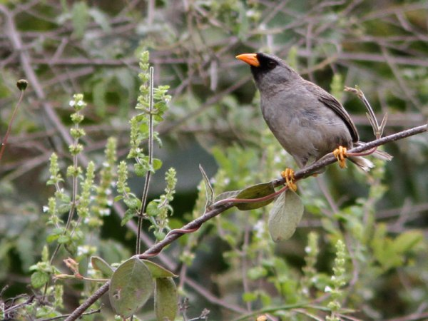 Gray-breasted Inca-Finch is one of five species in a genus entirely endemic to Peru. Photo by Marcelo Padua.