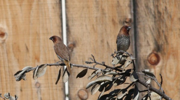 Nutmeg Mannikins, I mean Spice Finches, I mean Scaly-breasted Munias, in San Diego, CA, photo by Nate Swick