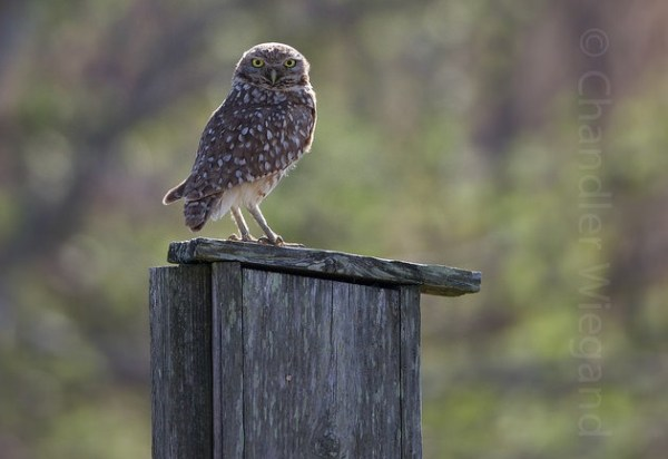 Delaware's first Burrowing Owl, photo by Chandler Wiegand, used with permission