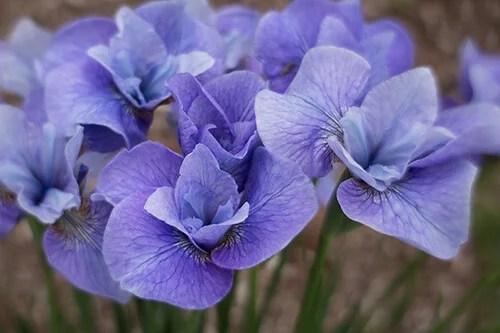 Tip 1 KathleenClemons Irises