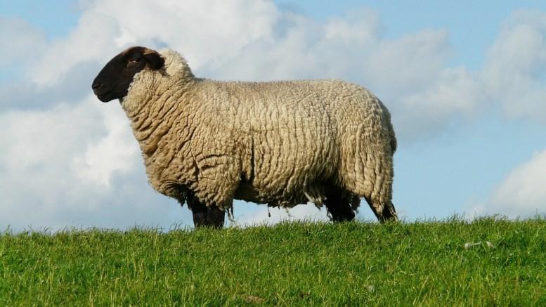 sheep-57705_1280