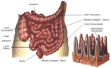 intestinodelg02