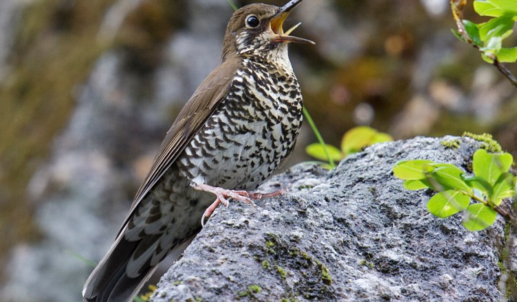 Himalayan-Forest-Thrush-Dulongjiang-26June-2014-Photo-Craig-Brelsford