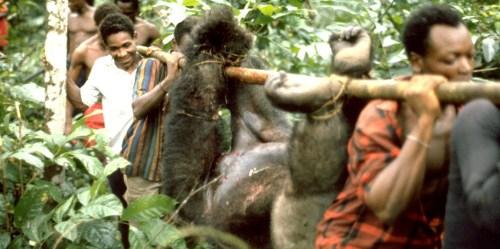 gorilla-bushmeat