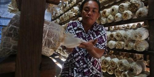 Masyarakat desa Manteran II berupaya mengembangkan bisnis jamur kuping dengan bantuan dana dari REDD+. Dita Alangkara/CIFOR