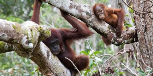 Hampir sepertiga populasi orangutan yang tersisa di alam dapat ditemukan di wilayah konsesi HPH. Roger Day