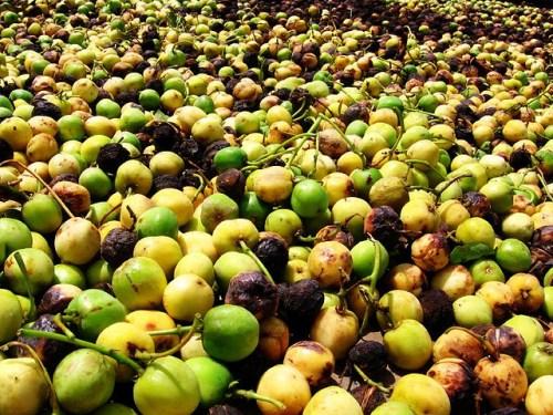Unripe jatropha fruit drying prior to oil extraction. Wouter Achten
