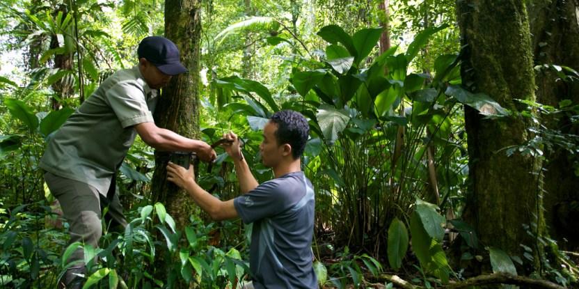 A CIFOR researcher and nationa par officer set up a camera trap in Gunung Halimun-Salak naitonal park.