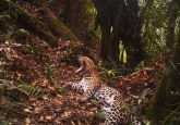 A Javan leopard is caught on camera in Gunung Halimun-Salak national park, Java, Indonesia.